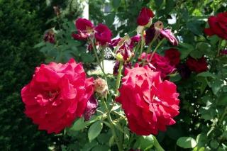 Vor dem Büro<br>Der Besitzer des Gebäudes hat ein Faible für Rosen